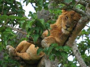 Lion in Tree